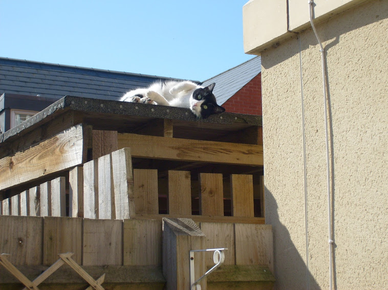 The last photo I have of Ozzy. He is lying on top of the shed in my garden in the sunshine, and he's looking at the camera.
